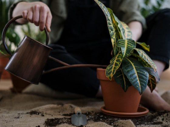 Kalėdinė dovana persodintas augalas